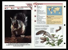 """GRAY SQUIRREL"" WILD LIFE FACT FILE ANIMAL INFO-CARD/HOME SCHOOL STUDY"