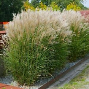 Chinaschilf 'Silberspinne' - Miscanthus sinensis - XL-Pflanze im 4L-Topf