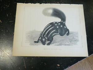 Spotted Skunk - USPRR, Baird Mammals Hand Colored Lithographs, ca: 1859