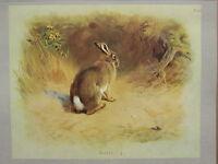Vintage Natural Historia Estampado ~ Conejo