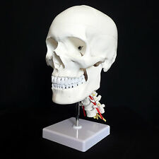 Human Skull on Cervical Vertebrae/Spine Anatomical Model - Skeleton Anatomy