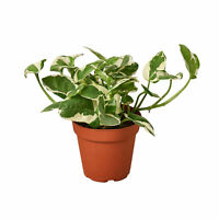 "Pothos 'N'joy' - 4"" Pot"