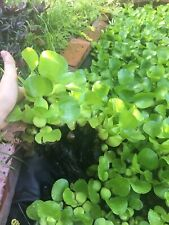 Water Hyacinth- Healthy and 100% Organically grown; great for koi ponds