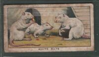 Pet White Rat Care Housing Feeding 1920s Ad Trade Card