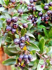 Amomyrtus meli very ornamental evergreen small tree 25 FRESH SEEDS 2020