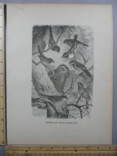 Rare Antique Original VTG Group Song Warblers Birds Avian Photogravure Art Print
