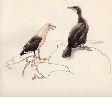 1937 BIRD PRINT ~ GREATER BLACK-BACKED GULL & CORMORANT