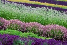 200 Aromatic Lavender Flowers Seeds Beautiful Pleasant Fragrance in Garden Home