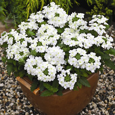 Seeds Verbena White Flower Annual Indoor Balcony Garden Cut Organic Ukraine
