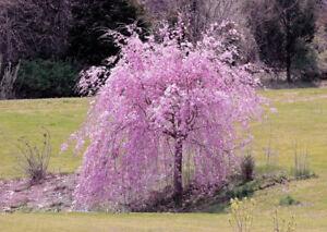 5 Weeping Purple Cherry Tree Seeds Flowering Japanese Flower Ornamental Seed 108