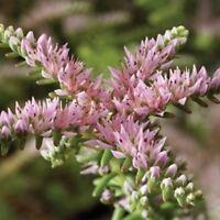 Sedum 'Sea Star' seed. Winter Annual Succulent Groundcover Hardy Low Maintenance