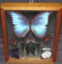 sh5 7 REAL BUTTERFLIES SEE THRU DOUBLE GLASS MOUNTED NYMPHALIDAE MORPHIDAE