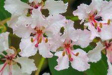 10 seeds Maloo Creeper Bauhinia vahlii Container Gardening Tropical Vine-Sale