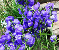 BELLFLOWER WILLOW PEACH LIVED BLUE Campanula Persicifolia - 250 Seeds