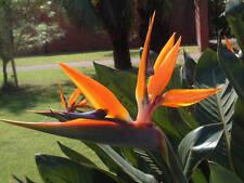 Strelitzia reginae - Pájaro De Paraíso Flor - Semillas Frescas