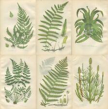 6 Original Antique PRATT Fern Prints Botanical ferns - Ref PL1   1862