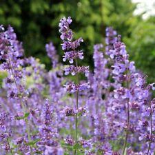 2 x 1 LITRE POTS PLANTS NEPETA MUSSINII CATMINT LOW PERENNIAL BLUE /PURPLE