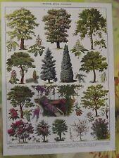 Ancienne Gravure Larousse 1950 Art Print on Original Antique Book Page Glycine
