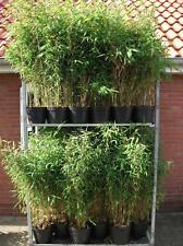 "Bamboo China rohrgras Fargesia Murielae "" Jumbo "" 40-60 cm High in 5 Liter Pot"