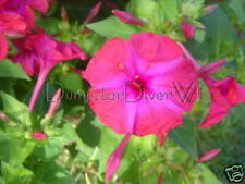 MAGENTA PINK 4 o'clocks 35+seed marvel of peru fragrant