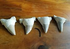 Fossilised Sharks Tooth From Sante Fe Great White Shark Maco Otodus obliquus