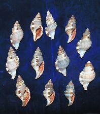Twelve (12) Hairy Triton Cymatium Martiniamum Sea Shells Beach Decor Craft