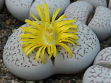 Living Stones Seed (Dinteranthus vanzylii) Arid Living Orange River South Africa