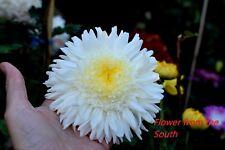 "Chrysanthemum ""Helen Castle"" x 1 plant. White Anemone"
