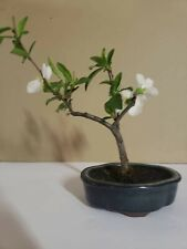 Japanese Quince Bonsai Estimated 11 Years Old