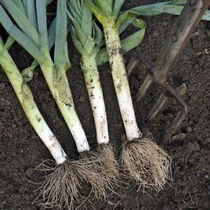 100 Leek MUSSELBURGH Seeds - #1 Variety - Reliable Crop - Bestseller - Free Post
