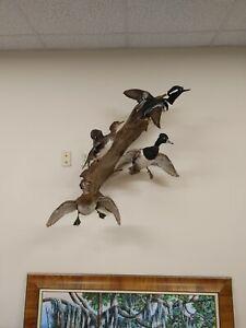 Flying Duck Mount Taxidermy