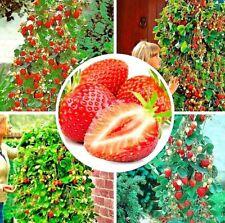 10 graines Fraisier Fraises géantes Fragaria ananassa /10x seed Giant Strawberry
