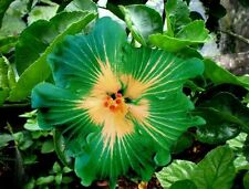 Unique Green Dinnerplate Hibiscus,Easy to Grow, Huge10-12 Inch Flowers-20pcs