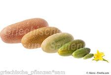 🔥 🥒 braune Netzgurke Gurken für Freiland 6 Samen SEHR SELTEN Gurke