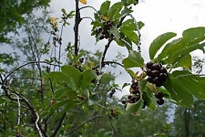 choke cherry, Chokecherry, 17 seeds! GroCo