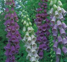 Foxglove 'Excelsior Hybrids' / Digitalis purpurea / PlantGenesis Seeds