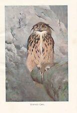 c1914 NATURAL HISTORY PRINT ~ HORNED OWL ~ LYDEKKER