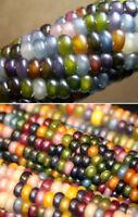 Coloré en verre GEM corn Cherokee Indian héritage 30 graines-Unusial & rare