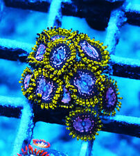 Wwc Purple Monster Paly Zoanthids Palythoa Zoa Paly Soft Corals Wysiwyg