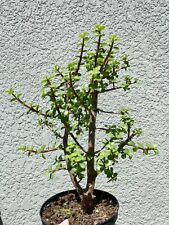 Elephant Bush Portulacaria Afra Bonsai Tree Ornamental House Plant Grown In 6�