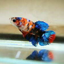 "Live Betta Fish - Female Halfmoon -""Koi Candy Fancy"" Betta High Quality (QJUL12)"