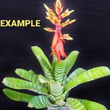 bromeliad --bromelia aechmea green chantini live plant