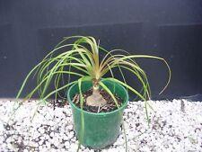 Plants Pony Tail Palms 200-250 mm pots $7-50 ea 30-40cm hgt SPECIAL PRICE