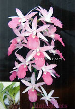 """3 Fresh Corm """"Calanthe rosea (Lindl.) Benth."""" in """"ORCHIDACEAE Family """""""