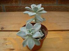 Graptopetalum paraguayense-height 12cms in a 8.0 cms pot