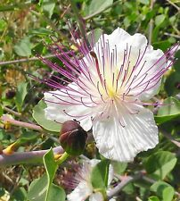 Herb - Caper - Capparis Spinosa - 100 Seeds - Large