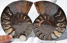 "RARE 1 in 100 BLACK PAIR Ammonite Crystal LARGE 122mm Dinosaur FOSSIL 4.7"" n2179"