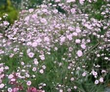 Gypsophila Paniculata Pink Festival Star 100mm Pot Plants Pack x3 SPECIAL