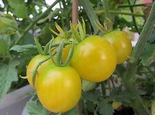 Tomato 'Lemon Drop' Sweet And Tangy Cherry TASTE TEST  AWARD WINNER! 20+ SEEDS