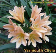 House Plant - Clivia  1-Leaf  Seedling  - Cupid's Dart x Alex Champagne Peach